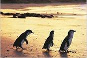 EX2388_phillip-island-day-tours-penguins3