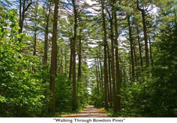 Walking_Through_Bowdoin_Pines